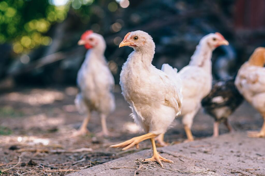 Chickens_Dancing_Oktoberfest_igor-ovsyannykov-347295.jpg