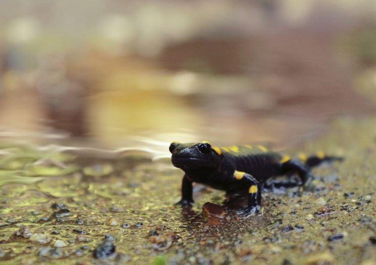 Salamander _pixabay