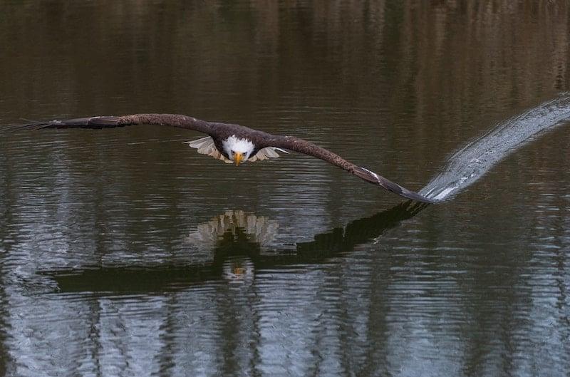 eagle-wing-tipping-water-richard-lee-unsplash