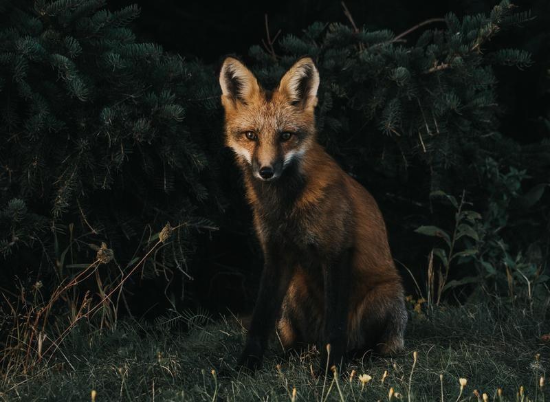fox-animal-jeremy-vessey-373593-unsplash