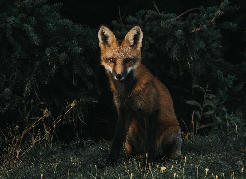 fox-animal-jeremy-vessey-373593-unsplash