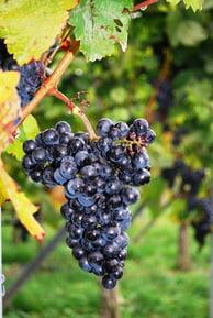 grapes-274132_960_720