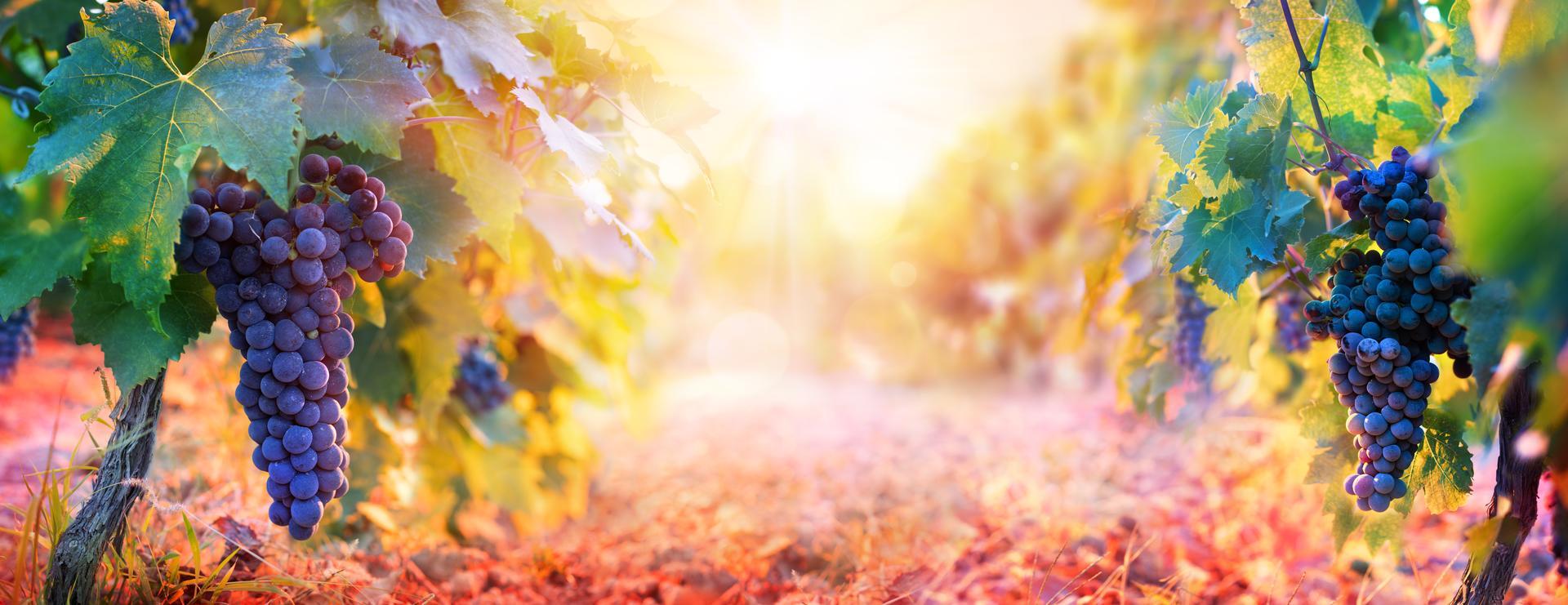 grapes-fall-winery-vineyard