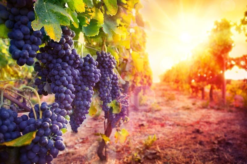 grapes-sun-shining-flare-shutterstock_306955505