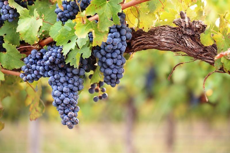 grapes-vine-leaves-shutterstock_128724785