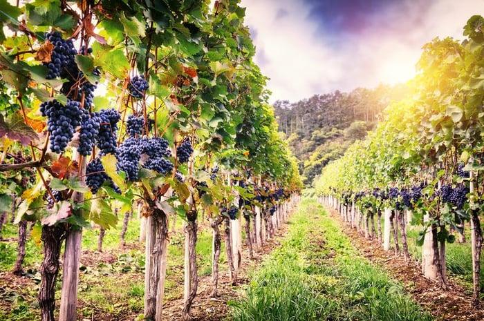 grapes-vineyard-shutterstock_362458292