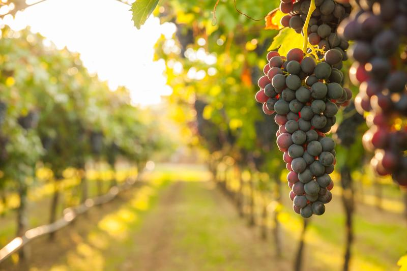 grapes-vineyard-shutterstock_571565734