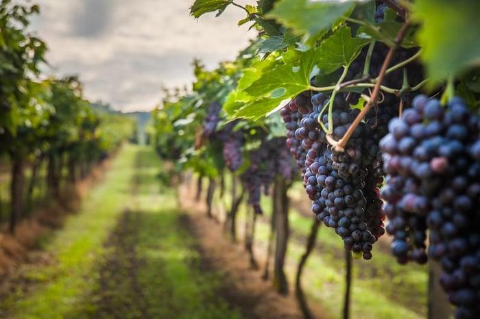 grapes-vineyards-02-shutterstock_320746712