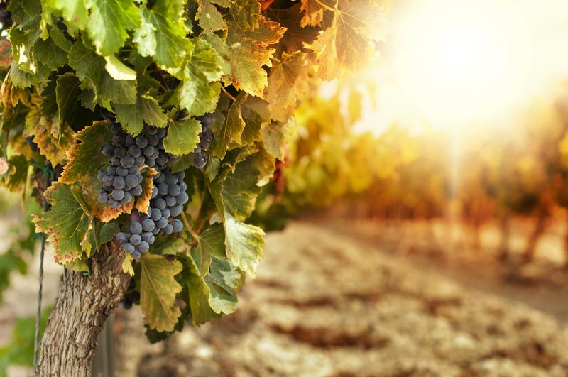 grapes-winery-shutterstock_115821670