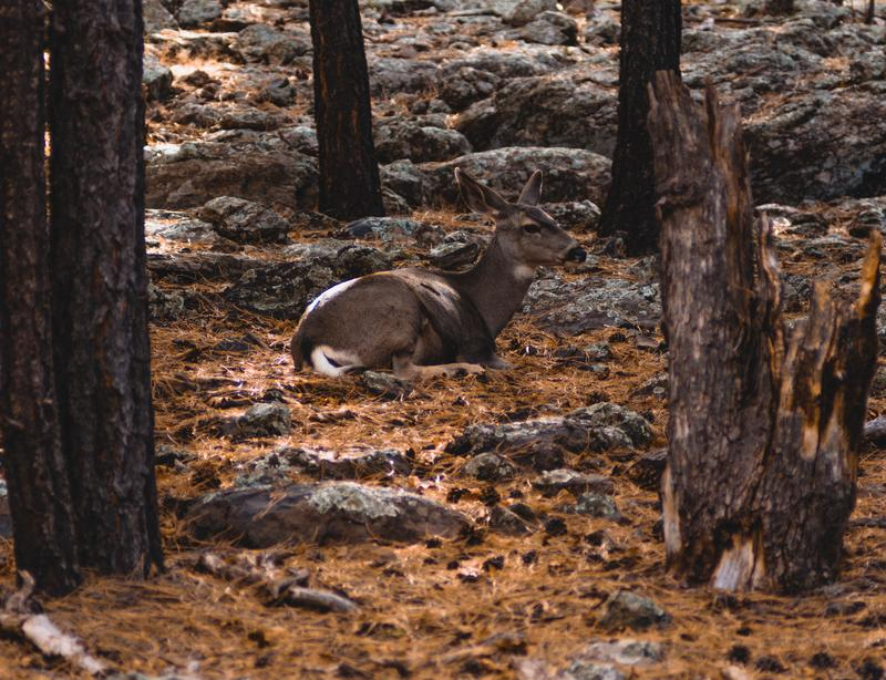 quiet-deer-forest-peter-forster-4j5LvSdG3CI-unsplash