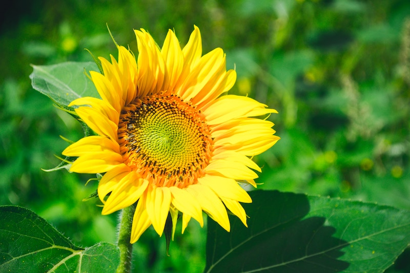 sunflower-andrii-podilnyk-unsplash
